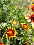Margaritas salvajes rojas Imagen de archivo libre de regalías