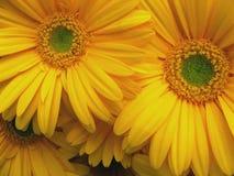 Margaritas verdes y amarillas fotografía de archivo libre de regalías