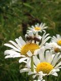 Margaritas y Honey Bee Imágenes de archivo libres de regalías