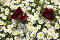 Margaritas y tulipanes Fotografía de archivo