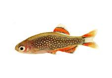 Margaritatus del Danio di Rasbora della galassia, pesce dell'acquario del danio della perla fotografia stock libera da diritti