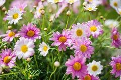 Margarites, spring, summer, planting season, gardening. Margarites, in the spring, gardening, pink leucanthemum Royalty Free Stock Photo