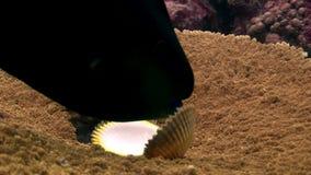 Margaritifera Pinctada στον υποβρύχιο καταπληκτικό βυθό acropora κοραλλιών στις Μαλδίβες απόθεμα βίντεο