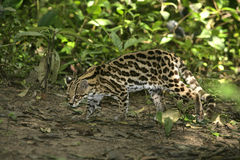 Margay或山猫或小的老虎, Leopardus wiedii 免版税库存图片
