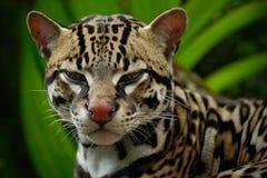 在哥斯达黎加的热带森林里详述豹猫,好的在分支的猫margay开会,动物画象在自然栖所 库存图片