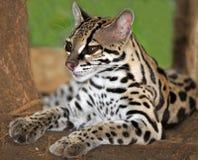 Margay cat or Caucel ,feline reserve, nicaragua,. Margay cat or Caucel lying on ground, feline reserve, nicaragua, central america royalty free stock photos