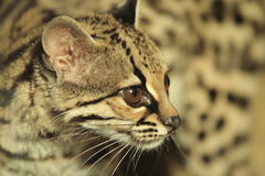 Margay Royalty Free Stock Photo