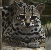 Margay. Laying on bamboo Stock Photography