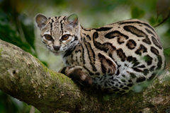 Margay, Leopardis wiedii, beautiful cat sitiing on the branch in the tropical forest, Panama Royalty Free Stock Images