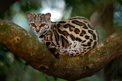 Margay Leopardis wiedii, härlig ozelotkatt som sitiing på filialen i den costarican tropiska skogen fotografering för bildbyråer