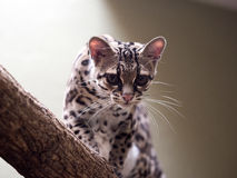 Margay, Leopardus wiedii, a rare South American cat watches the photographer Royalty Free Stock Image