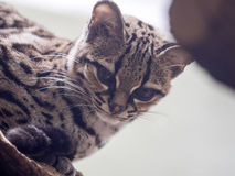 Margay, Leopardus wiedii, a rare South American cat watches the photographer Stock Images