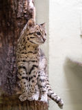 Margay, Leopardus wiedii, a rare South American cat watches the photographer Royalty Free Stock Photography