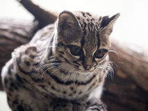 Margay, Leopardus wiedii, a rare South American cat watches the photographer Stock Photos