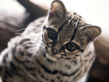 Margay, Leopardus wiedii, a rare South American cat watches the photographer Royalty Free Stock Photo