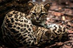 Margay, Leopardus-wiedii, wijfje met baby stock afbeelding