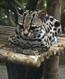 Margay. Perched on bamboo Stock Image