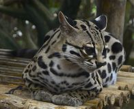 Margay. Perched on bamboo Royalty Free Stock Images