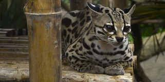 Margay. Perched on bamboo Stock Photo