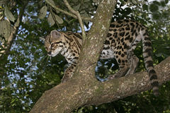 Margay or tiger cat or little tiger, Leopardus wiedii Stock Image