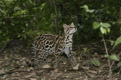 Margay or tiger cat or little tiger, Leopardus wiedii Royalty Free Stock Photography