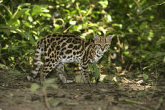 Margay or tiger cat or little tiger, Leopardus wiedii Stock Images