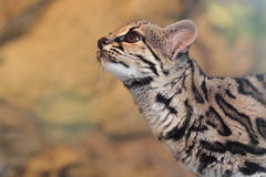 Margay Stock Images