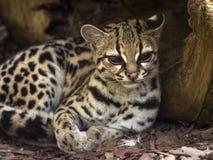 Margay, wiedii de Leopardus, est un beau chat sud-américain de forêt photos libres de droits