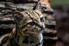 Margay, wiedii Leopardis стоковое фото rf