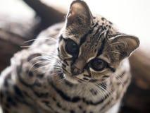 Margay, wiedii Leopardus, ένας σπάνιος νότος - η αμερικανική γάτα προσέχει το φωτογράφο Στοκ φωτογραφία με δικαίωμα ελεύθερης χρήσης