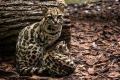 Margay, wiedii Leopardus, женское с младенцем стоковые изображения rf