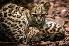 Margay, wiedii Leopardus, женское с младенцем стоковые фото