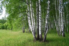 Marge of a birchwood. In Russia Royalty Free Stock Photos