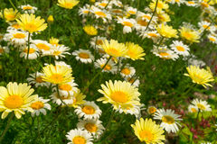 Margerite (Leucanthemum vulgare) Royalty Free Stock Photography