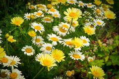 Margerite (Leucanthemum vulgare) Royalty Free Stock Images