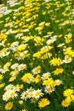 Margerite (Leucanthemum vulgare) Royalty Free Stock Photo