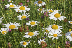 Margerite meadow in summer Royalty Free Stock Photo