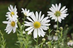 Margerite stokrotki kwiatu okwitnięcie Fotografia Stock