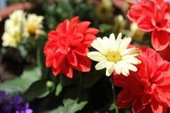 Margerite stokrotki kwiatu okwitnięcie Obrazy Royalty Free