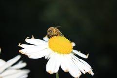 Margerite stokrotki kwiatu okwitnięcie Zdjęcia Royalty Free