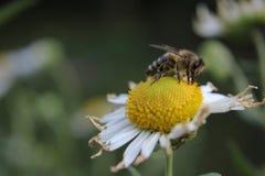 Margerite stokrotki kwiatu okwitnięcie Obraz Royalty Free