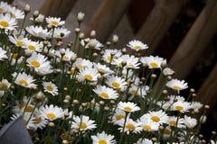 Marguerite, dog daisy - Leucanthemum vulgare
