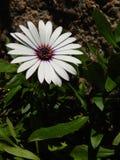 Margherita africana bianca del fiore con luce solare fotografia stock libera da diritti