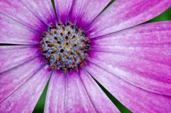 Margherita africana rosa/porpora di Osteospermum Fotografia Stock