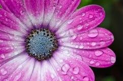 Margherita africana rosa/porpora di Osteospermum Immagine Stock Libera da Diritti
