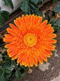 Margherita arancio Fotografia Stock Libera da Diritti
