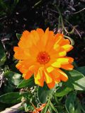 Margherita arancio Fotografia Stock