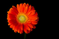 Margherita arancio della gerbera sul nero Immagini Stock