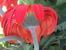 Margherita arancio di Gerber - primo piano posteriore di vista immagine stock libera da diritti