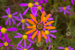 Margherita arancio luminosa con i fiori porpora nel fondo Immagine Stock